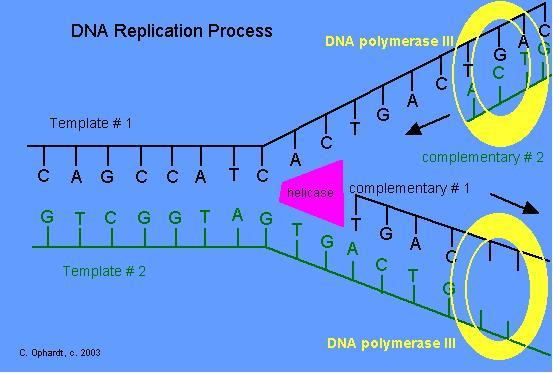 the process of dna replication Dna replication is fundamental process occurring in all living organism to copy  their dna the process is called replication in sense that each.
